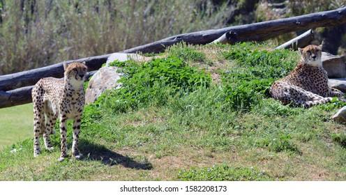 Cheetahs couple relaxing on gren grass rocks