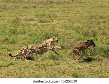 Cheetahs focusing
