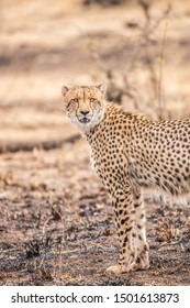 Cheetahs in Kruger National Park, South Africa