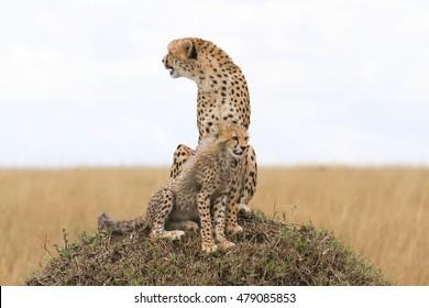 Cheetahs from Maasai Mara