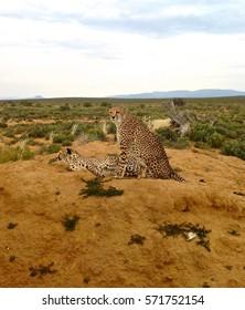 Cheetahs on alert
