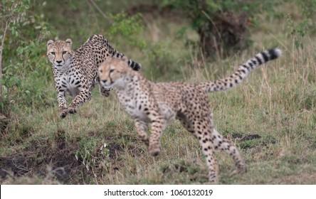 Cheetahs on the hunt and running in Masai Mara Game Reserve, Kenya