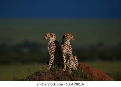 Cheetahs on a mount scanning the Horizon