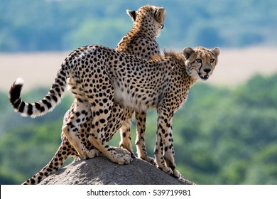 Cheetahs on a termite hill in the Masai Mara