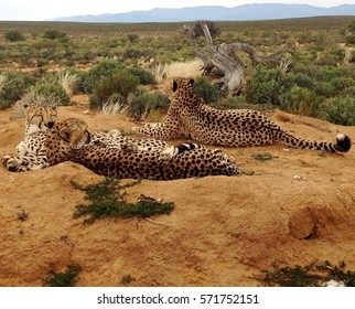 Cheetahs relaxing together