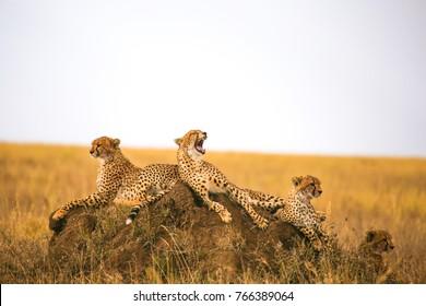 Cheetahs resting on the rock in Serengeti National Park, Tanzania