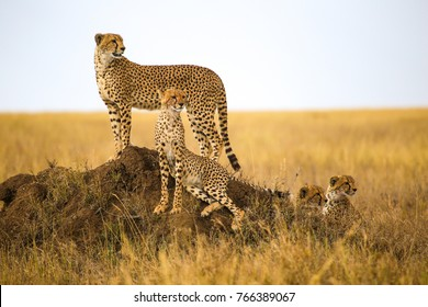 Cheetahs resting on the rock in Serengeti National Park, Tanzania