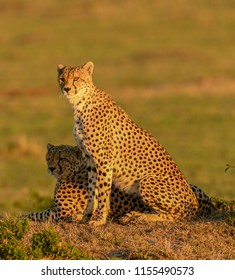 Cheetahs at sunrise in a savannah in Masai Mara Game Reserve, Kenya