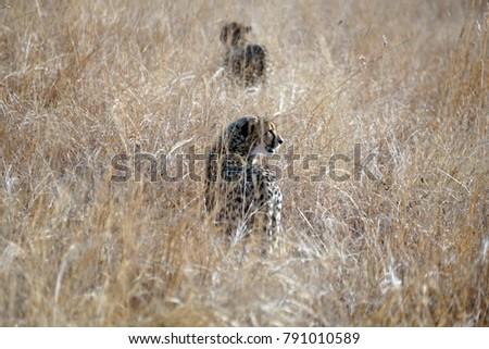 Cheetahs Tall Grass Pilanesberg National Park Stock Photo