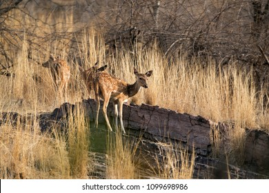 Cheetal deers on the rock between the grasses at Ranthambore Tiger reserve