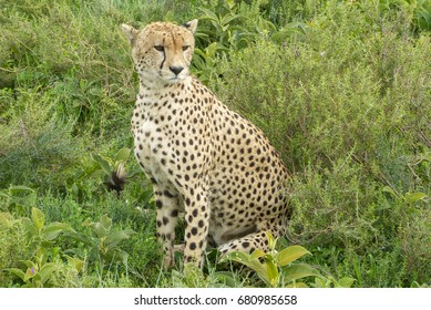 Cheetas in Serengeti plains