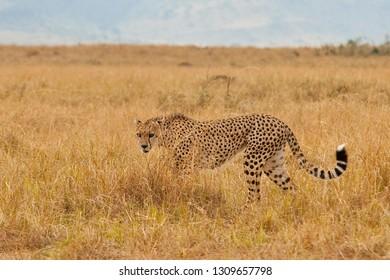 Cheetha walkin in the savannah, Serengeti National park, Kenya