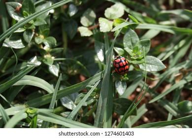 Cheilomenes lunata, lunate ladybird, South Africa