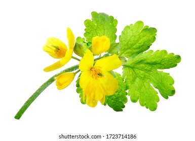 Chelidonium majus, (commonly known as greater celandine, nipplewort, swallowwort, or tetterwort, which also refers to Sanguinaria canadensis). A plant used in folk medicine.