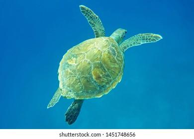 Chelonia mydas caretta caretta blue water