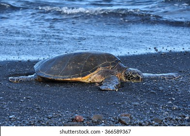 Chelonia Mydas: A green sea turtle at a black sand beach at Punalu'u beach on Hawaii