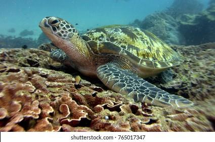 Chelonia mydas, Green sea turtle