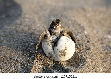 Chelonia Mydas.  Newborn baby black green sea turtle running on the beach sands in Mediterranean Sea.