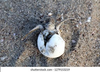 Chelonia Mydas.  Newborn baby black green sea turtle running on the beach sands in Mediterranean Sea.