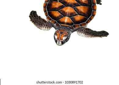 Chelonia mydas turtle isolated on white background