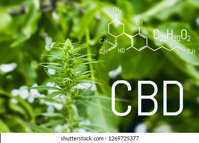 Chemical formula CBD cannabidiol. Science, research marijuana, cannabis. Thematic concept of hemp and ganja. Background image