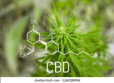 Chemistry cannabis. Cbd cannabidiol formula. Science, research marijuana. Thematic photos of hemp and green ganja. Background image