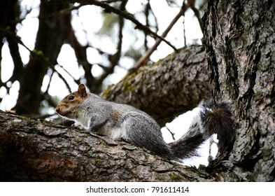 Cheney, Washington - December 10, 2014: A squirrel in a tree, close up view.