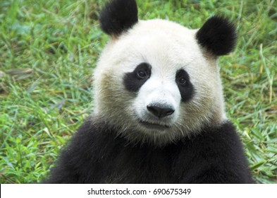 Chengdu China, Giant Panda face