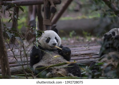Chengdu Giant Panda's having some lunch to get ready for a long day of napping.