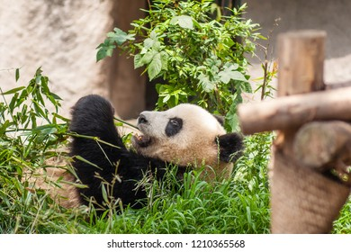 Chengdu, Sichuan, China - June 1 2009: Young giant panda eating bamboo stalks at the Chengdu Research Base of Giant Panda Breeding