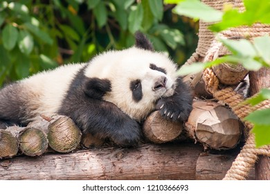 Chengdu, Sichuan, China - June 1 2009: A band of young giant panda are playing and grappling at the Chengdu Research Base of Giant Panda Breeding