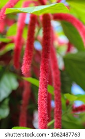 chenille plant Acalypha hispida with long fuzzy flowers
