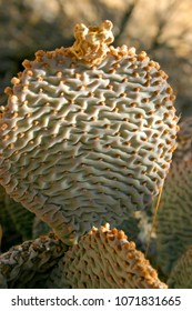 Chenille Prickly Pear Cactus, Opuntia aciculata. Mojave Desert Joshua Tree National Park