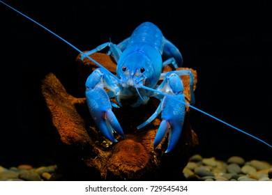 Cherax Bluepearl Lobster