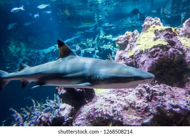 Cherbourg-Octeville, France - August 26, 2018: Blacktip reef shark in the Aquarium of the maritime museum La Cite de La Mer or City of the Sea in Cherbourg, Normandy, France