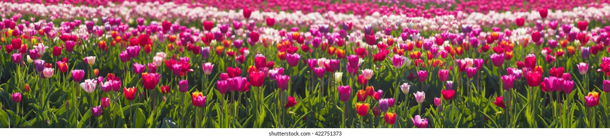 Chernivtsi region of Ukraine near the mountains farmer grows beautiful tulips Dutch European varieties. Organic farming on the background of modern technology the beauty of nature in spring