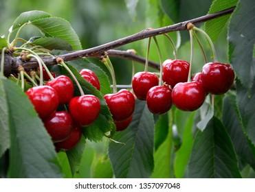 Cherries before harvest in Valais, Switzerland