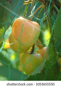 Cherries with bird net