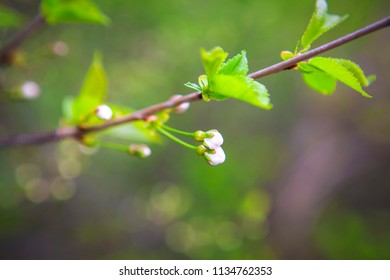 cherries flowers and buds in the spring season