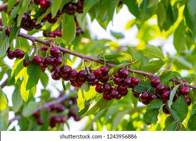 Cherries on a branch of a fruit tree in the sunny garden. Bunch of Fresh cherry on branch in summer season
