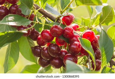 Cherries on a branch in the orchard