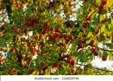 Cherries on the tree. Slovakia
