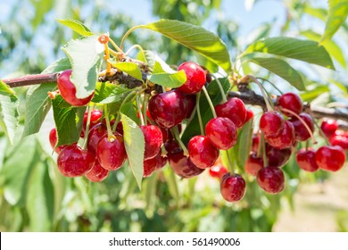 Cherries picking.