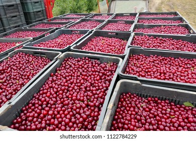 Cherries ready for the Market / Freshly picked cherries in trays ready for the market