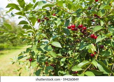 cherries tree