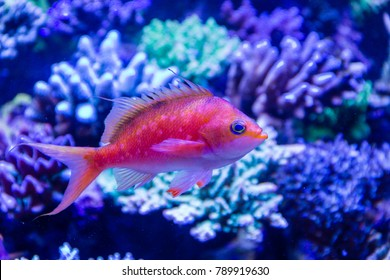 Cherry Anthias (Sacura margaritacea) Native marine fish from Japan as known as Sakura Anthias because spotted and color likes Cherry Blossom