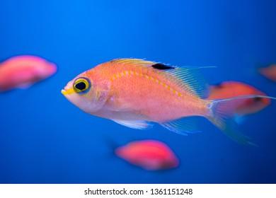 Cherry bass (Sacura margaritacea)