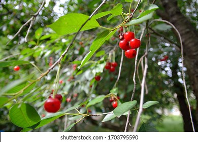 cherry berries on the branches