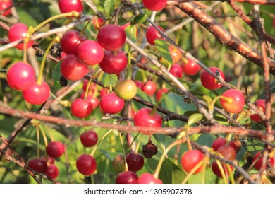 Cherry berries on the branches, fresh fruit, excellent background with berries