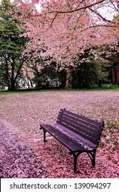 Cherry bloom in Washington DC, USA